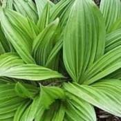 Foldblad - Stort udvalg af Stauder - Kridtvejs Planter