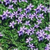 Blåkryb | Stort udvalg i stauder & buske til haven