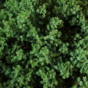 Juniperus / Enebær