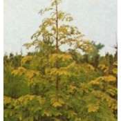 Metasequoia / Vandgran