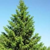 Picea / Gran