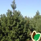 Pinus / Fyr