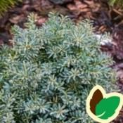 Podocarpus / Sydtaks