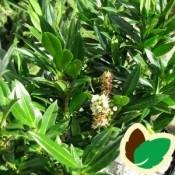 Prunus / Laurbærkirsebær
