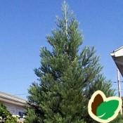 Sequoiadendron / Mammuttræ - Kridtvejsplanter