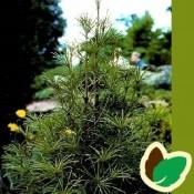 Parasoltræ 'Sciadopitys' Stort udvalg i Parasoltræer & Planter til haven