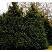 Thujopsis / Hønsebenstræ