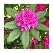 Rhododendron 'Alperose' | Stort udvalg i Rhododendron til haven