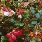 Tyttebær - Tranebær