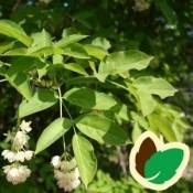 Staphylea / Blærenød
