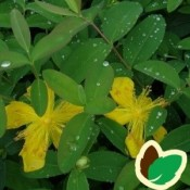 Perikon - Stort udvalg - Kridtvejs Planter