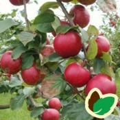 Cideræbletræer