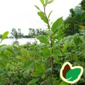 Tupelotræ - Stort udvalg af haveplanter