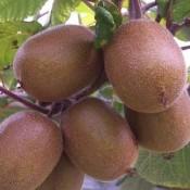 Kiwi Planter