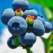 Blåbærbuske