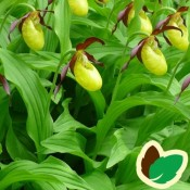Cypripedium  / Fruesko-Haveorkide