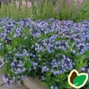 Blåstjerne (Amsonia) | Stort udvalg i staude & buske til haven