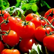 Tomatfrø