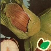 Hassel- & Valnøddetræer | Stort udvalg i nøddetræer til haven