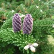 Ædelgran - Barrodsplanter