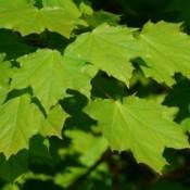 Ahorn - Barrodsplanter