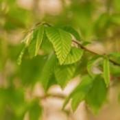 Avnbøg til hæk og læplantning