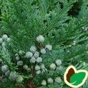 Ædelcypres til hæk og skov plantning