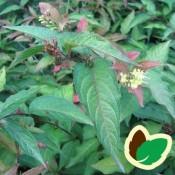 Diervilla - Barrodsplanter