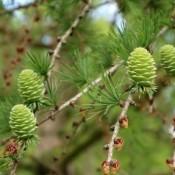Lærk | Barrodsplanter til hæk & skov - Stort udvalg