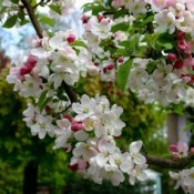 Sargentsæble & Vildæbler - Barrodsplanter