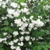 Uægte Jasmin - Barrodsplanter