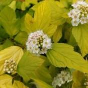 Blærespiræa - Barrodsplanter