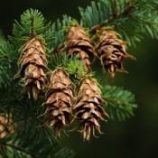 Douglasgran - Barrodsplanter
