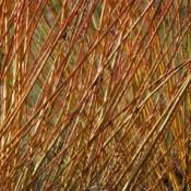 Pil - Barrodsplanter