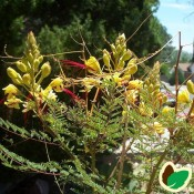 Caesalpinia - Brasiltræ