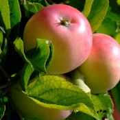 Stort udvalg af frugttræer