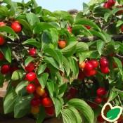 Kirsebærkornel med spiselige frugter