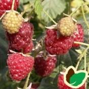 Hindbærplanter