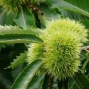 Ægte kastanje - Barrodsplanter