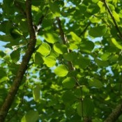 Hjertetræ - Barrodsplanter