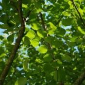 Hjertetræ - Barrodsplanter - // Stort udvalg bestilles her!