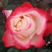 Storblomstrede Roser